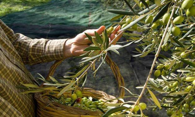 Ελαιοκαλλιέργεια: Ενημέρωση ουσίας από την Ένωση Αγρινίου