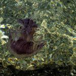 «Άμεσα μέτρα για τον έλεγχο της εξάπλωσης μεδουσών (τσούχτρες) στον Κορινθιακό κόλπο»